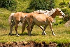 Wilde Pferde - Nationalpark von Adamello Brenta Lizenzfreies Stockbild