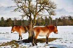 Wilde Pferde Przewalski im Winter Stockfoto