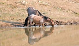 Wilde Pferde - reflektierende Bucht rote Roan- und Grulla-Stuten beim Trinken am waterhole in den Pryor-Bergen - Montana USA Lizenzfreie Stockbilder