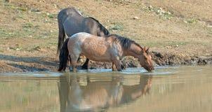 Wilde Pferde - reflektierende Bucht rote Roan- und Grulla-Stuten beim Trinken am waterhole in den Pryor-Bergen - Montana USA Stockfotos