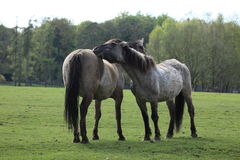 Wilde Pferde Tarpan Lizenzfreie Stockfotografie