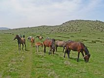 Wilde Pferde und Kühe in den Bergen Lizenzfreie Stockfotos