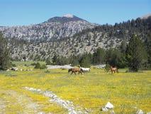 Wilde Pferde und wilde Blumen Lizenzfreie Stockbilder