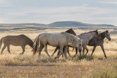 Wilde Pferde in Utah lizenzfreie stockfotos