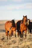Wilde Pferde vertikal Stockbild