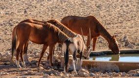 Wilde Pferde von Aus mit einem Gemsbok - Namibia Lizenzfreies Stockfoto