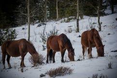 Wilde Pferde von Kananaskis Stockfoto