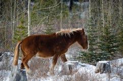 Wilde Pferde von Kananaskis Stockbilder