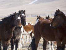 Wilde Pferde von Wyoming Lizenzfreies Stockfoto