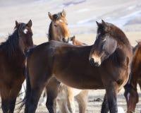 Wilde Pferde von Wyoming Stockfoto