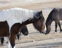 Wilde Pferde von Wyoming Stockfotografie
