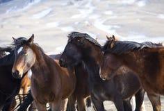 Wilde Pferde von Wyoming Lizenzfreie Stockbilder