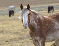Wilde Pferde von Wyoming Stockbilder