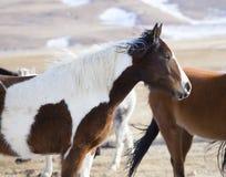 Wilde Pferde von Wyoming Lizenzfreie Stockfotos