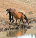 Wilde Pferde - Wildleder-Buchtstute mit Fohlen und Leber-dem Kastanien-Bucht-Hengst, der am waterhole trinkt - Montana USA Lizenzfreies Stockbild