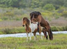 Wilde Pferdeanschluß Lizenzfreie Stockfotografie