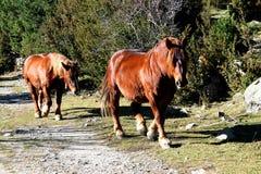 Wilde Pferdegehen stockfotografie
