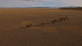 Wilde Pferdeherde, die auf Wiese läuft stock video footage