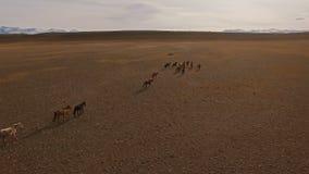 Wilde Pferdeherde, die auf Wiese läuft stock video