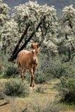 Wilde Pferdeschwach gesalzenerer Fluss Lizenzfreie Stockfotografie