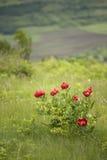 Wilde Pfingstroseblume Stockbilder
