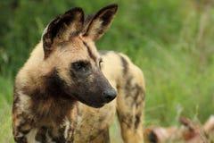Wilde pictus van de Hond lycaon Stock Foto's