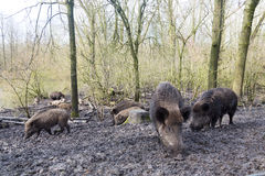 Wilde pig. Family Wilde pig in muddy wood-landscape looking for food Royalty Free Stock Photography