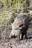 Wilde pig. In muddy wood-landscape Royalty Free Stock Images