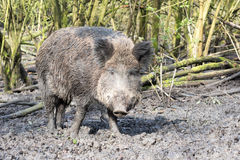 Wilde pig. In muddy wood-landscape Stock Images