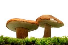 Wilde Pilze lizenzfreies stockfoto