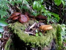 Wilde Pilze, die auf einem moosigen Baumstumpf wachsen stockbild