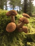 Wilde Pilze im Moos Lizenzfreies Stockfoto