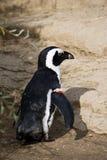 Wilde pinguïn op een rots Stock Afbeeldingen