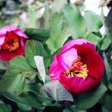 Wilde pioenbloemen Oude foto Lycianmanier het Lopen Stock Afbeelding
