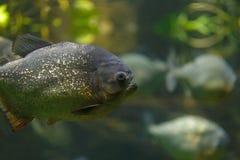 Wilde Piranhanahaufnahme im Aquarium stockfotos
