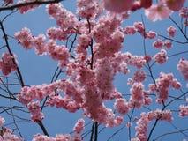 Wilde plumtree in de lente in de zon Stock Afbeelding
