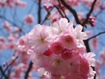 Wilde plumtree in de lente in de zon Royalty-vrije Stock Foto's