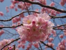 Wilde plumtree in de lente in de zon Royalty-vrije Stock Afbeeldingen