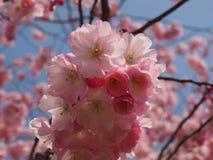 Wilde plumtree in de lente in de zon Stock Foto