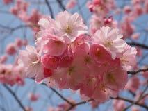Wilde plumtree in de lente in de zon Royalty-vrije Stock Fotografie
