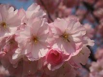 Wilde plumtree in de lente in de zon Stock Afbeeldingen