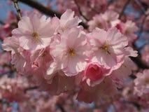 Wilde plumtree in de lente in de zon Royalty-vrije Stock Foto
