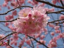 Wilde plumtree in de lente in de zon Stock Fotografie