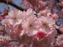 Wilde plumtree in de lente in de zon Stock Foto's