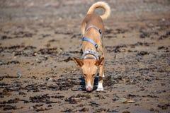 Wilde podenco bronw hond in het strand stock fotografie