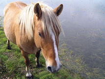 Wilde Poney Stock Foto