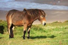 Wilde poney Royalty-vrije Stock Foto