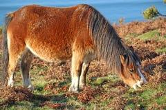 Wilde poney Stock Foto's