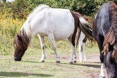 Wilde poney Royalty-vrije Stock Foto's