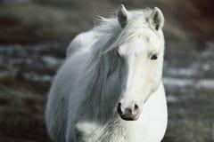 Wilde poney royalty-vrije stock afbeeldingen